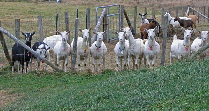 Oak Leaf Goats Does